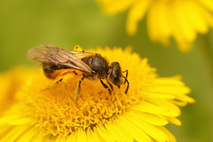 Lasioglossum species on Pulicaria dysenterica (henk.wallays) Tags: