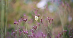 Summer Flight (paulapics2) Tags: bokeh pinks summer nature garden meadow field hydehallgardens rhsgardens flowers blumen fleurs floral flora butterfly cabbagewhite insect white canoneos5dmarkiii sigma105mm soft pastel dreamy