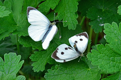 Large White Butterflies ... Pieris brassicae (AndyorDij) Tags: largewhitebutterfly malelargewhitebutterfly femalelargewhitebutterfly pierisbrassicae leaves foliage mating thematinggame butterfly butterflies insects insect empingham england rutland uk unitedkingdom 2016 andrewdejardin