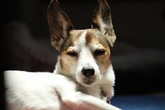 My pet (koutakuokumura) Tags:  dog canon eoskissx7 pet