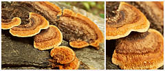 Funghi diptych (V and the Bats) Tags: plant flora funghi mushrooms mushroomsontreetrunk diptych
