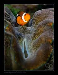 FRANclown-tridacna1197_160612 (kactusficus) Tags: marine reef aquarium francis ocellaris clown clownfish pomacentridae amphiprioninae benitier clam tridacna derasa hte original