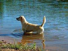 Wochenende in Sicht! (ingrid eulenfan) Tags: flus wasser dog hund labrador outdoor tier
