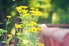 Seek magic everyday! (Sandra H-K) Tags: fencefriday fence flowers flora yellow green nature outside outdoors summer summertime helios402 hff bokeh bokehlicious dof depthoffield dreamy serene soft softfocus pretty day