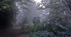 Forest whisper (maco-nonchR) Tags: mtrokko japan kobe    summer forest woods foggy lights hydrangea