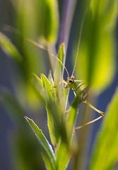 The climber (Traezh) Tags: sauterelle grimpeur insecte macro macrophotographie macrophotography 100mm 10028isl canon profondeur