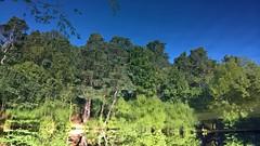 Basingstoke Canal Deepcut 26 August 2016 012 (paul_appleyard) Tags: basingstoke canal deepcut surrey august 2016 reflection inverted water blue sky skies trees green lumia 950