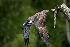 Osprey (paulh192) Tags: bird osprey raptor dive flight hunting feathers nikon michigan grandrapids sigma