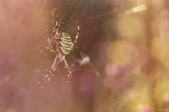 Spider (Elments du temps) Tags: nature macro nikond7000 nikon insectes exterieur t couleurs jaune noir proxy bokeh france argiope toile 90mm tamron