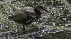 Bird - Moore Nature Reserve (joanjbberry) Tags: moorenaturereserve moore warrington birds wildlife water