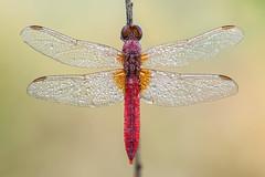 Crocothemis erythraea (Prajzner) Tags: crocothemiserythraea scarletdragonfly odonata naturallight dragonfly red prajzner sigma105mmmacro nikond7100 dofstacking