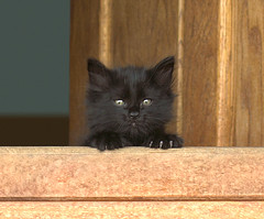 Kilroy Yoda (dblees) Tags: cat gato chat kitty  koka kat kissa katze gatto kot pisic maka katt  kedi con mo       gata