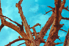 (jean.padoan) Tags: teal orange laranja azul cu tronco rvore seco tree externa outside natureza nature