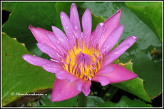 6385 - water lily (chandrasekaran a 34 lakhs views Thanks to all) Tags: waterlily lily flowers nature india chennai