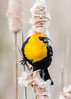 Yellow Headed Blackbird Series 1 (Patti Deters) Tags: bird yellowheadedblackbird yellow perched black tan songbird one single wild wildlife nature animal sitting male pussywillow cattail reeds marsh swamp song xanthocephalus yellowheaded small blackbird colorful colourful headed vertical art blurredbackground copyspace stock lobby office interiordesign