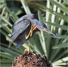 Green Heron ( Giving me a High 4 )( Explored on 9-21-16 ) (billkominsky ) Tags: naturethroughthelens ngc