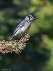 Bluejay (wandering tattler) Tags: animal bird songbird passerine jay corvid newhampshire blue 2016