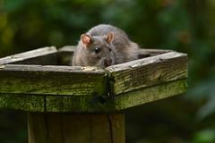 Rat bird (Matt Burke) Tags: westport lake