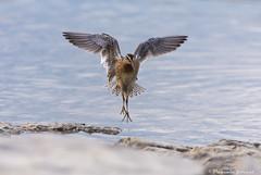 Bcassin roux/ Short-billed dowitcher (pascaleforest) Tags: oiseau bird montmagny qubec nature faune fauna passion nikon limicole wild bcassionroux shortbilleddowitcher