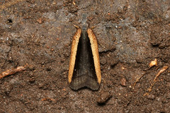 Lepidoptera (Moth sp.) - Costa Rica (Nick Dean1) Tags: lepidoptera moth insect insecta animalia arthropoda arthropod hexapoda hexapod insects macro canon canon7d parquenacionalbarrahonda costarica guanacaste