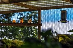 Round Wales Walk 43 - Orange Birds (Nikki & Tom) Tags: roundwaleswalk walescoastpath wales ceredigion uk birds aviary