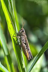 Calliptamus italicus (Rom4rio Photography) Tags: nikon nikkor natura nature nikond3100 color campo calliptamusitalicus lcust grasshopper cavalletta erba iarb grass verde cmp green d3100 amatore amateur amator bokeh micro bug outdoor insect insect naerliber