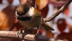 Birdwatching 20141025 (caligula1995) Tags: 2014 chickadee plumtree