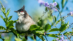 Sitting Pretty (Wideangle55) Tags: 300mm wideangle55 nikon d800 handheld colors laarboretum la flowers nikontc20eiii doubler redwhiskeredbulbul blue bulbul