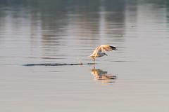 Gull (Mike Matney Photography) Tags: 2016 canon eos7d horseshoelake illinois midwest september bird birds lake nature pelican pelicans water wildlife gull pontoonbeach unitedstates us