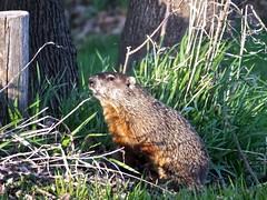 Groundhog (stillphototheater) Tags: groundhog woodchuck bryant iowa stillphototheater