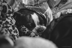 Stewie and his 4 blankets (pooshda) Tags: stewie flo stewart bostonterrier boston frenchie bulldog bull pet dog dogs puppy cute adorable love comfortable soft sleeping slumber peace peaceful blackandwhite bw monochrome monotone monochromatic noir grain noise highiso 6400 sony alpha a7rii zeiss 55mm f18 animal animals