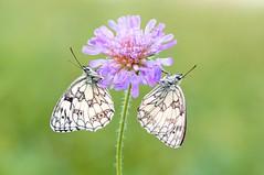 Silent Opera II... (Zbyszek Walkiewicz) Tags: closeup coth macro morning butterflies butterfly sony sunrise coth5