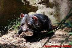 Canberra Zoo - Tasmanian Devil (soyouz) Tags: aus australiancapitalterritory australie curtin geo:lat=3530097215 geo:lon=14906875638 geotagged animals diabledetasmanie tasmaniandevil animalsaustralia canberra australiel