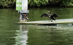 Blow Dry (PhilR1000) Tags: bird cormorant river riverthames reading cavershamlock water