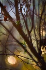Autumn time 0.4 (bresciano.carla) Tags: naturalmente pentaxart pentaxk500 trioplan100mm manuallens vintage bokeh tree light bubbles