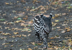 Indische Tapir Jong (Nick Dijkstra) Tags: acrocodiaindica artis indischetapir jong malayantapir maleisetapir schabrackentapir tapiradosblanc tapirusindicus