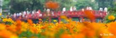 SHF_4845_The huc  bridge (Tuan Ru) Tags: 1dmarkiii 14mm 100mm 135mm 1d 1dx 2016 2470mm 50mm 70200mm canon canoneos1dmarkiii canon1d canoneos1dx thhcbridge cuthhc honkim honkimlake hhonkim flowers tuanrau tuan ru