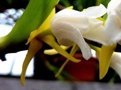 Mycaranthes vanoverberghii 4 (heinvanwinkel) Tags: 2012 asparagales bloemvandedag epidendroideae euphyllophyta hortus juni leiden liliopsida magnoliophyta mesangiospermae mycaranthesvanoverberghii nederland orchidaceae podochileae spermatophyta tracheophyta