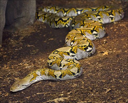 World's Longest Snake Ever