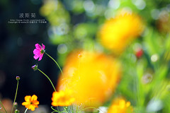 (nodie26) Tags: light flower color beautiful tour feel taiwan   hualien cosmos  perennial      coreopsis   calliopsis