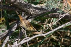 Phragmite des joncs (m-idre31 - 5 millions de vues merci) Tags: bird marais oiseau 34 hérault roselières phragmitedesjonc