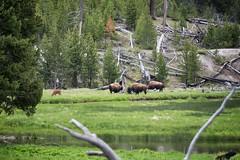 Bison near Mount Haynes.  Yellowstone National Park, WY. (tmac2272) Tags: usa lumix nationalpark panasonic bryan yellowstone wyoming wy usroute20 usroute191 lumixgvario45200f4056 dmcgh2 usroute287 anw2012 bryankoemptgen