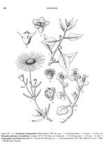 Tetragonia tetragonoides, line drawing, MBG-FOC (filibot.web) Tags: plants asia philippines botany specimens aizoaceae tetragonia tetragonoides filibot
