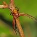 Xysticus species Crab Spider, Julie Metz Wetlands, Woodbridge, Virginia