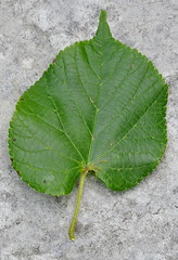 Tilia platyphyllos Scop.       subsp. platyphyllos  /   tilo. (chemazgz) Tags: hojas flora plantas plantae botánica botanica angiospermae magnoliophyta magnoliopsida spermatophyta geo:country=spain taxonomy:kingdom=plantae taxonomy:family=tiliaceae taxonomy:genus=tilia dicotiledoneas geo:region=europe taxonomy:binomial=tiliaplatyphyllos taxonomy:trinomial=tiliaplatyphyllosplatyphyllos taxonomy:common=tilo espermatofitos