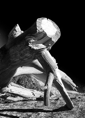Pata de gallo (Ricardo Alvarado) Tags: california naturaleza tree rbol sequoianationalpark vegetacin mororock ricardoalvarado