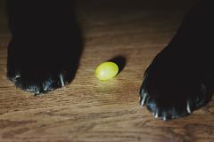 Keeping safe (curlsandsea) Tags: wood dog black floor keep safe grape