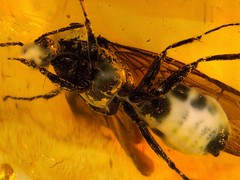 Baltic amber (45 myo) - Formicidae (leth.damgaard) Tags: beautiful closeup bug insect poster fossil amber ancient perfect raw pics unique postcard ant familie picture insects baltic bugs postcards buy mineral huge creatures biology insekt rare bursztyn jantar description extinct anders raf antennae fossils eocene bernstein ambre extremely arthropod rav mbar hymenoptera inclusion leth gintaras insekter  formicidae dzintars barnsteen fossilised  borostyn millimetre inklusion damgaard amberinclusions merevaik meripihka  amberinsect amberfossil succinicacid  wwwamberinclusionsdk  andersdamgaard sjlden