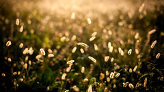 Golden points (in 16:9) (fred:vr) Tags: autumn nature golden natura fred autunno dorato