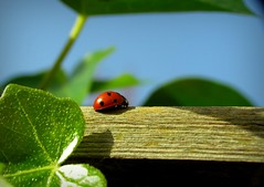 it feels like summer (Foto Dominic) Tags: macro ladybug lieveheersbeestje fotodominic rememberthatmomentlevel4 rememberthatmomentlevel1 rememberthatmomentlevel2 rememberthatmomentlevel3 rememberthatmomentlevel7 rememberthatmomentlevel9 rememberthatmomentlevel5 rememberthatmomentlevel6 rememberthatmomentlevel8 vigilantphotographersunite vpu2